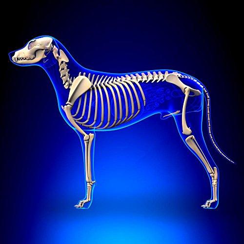 Dog Anatomy X-ray - 8