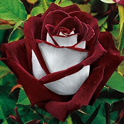 (Rose *Ambizu*) 2015 Hot Sale 200pcs Rare Osiria Rose Seeds (Osiria 04)