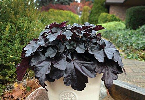 - Black Pearl Coral Bells - Heuchera - Proven Winners - Gallon Pot