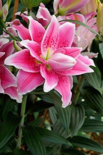 Lilium Roselily Natalia Double Oriental Lily - 5 Bulbs12-14CM by SZDYSD
