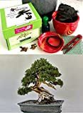 Premium Bonsai Growing Kit (Chinese Juniper) - allUneed in 1 BOX- includes ceramic pot&tray - 9 piece kit- gift