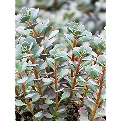 Perennial Farm Marketplace Sedum c. 'Lidakense' (Stonecrop) Groundcover, 1 Quart, Blue to Reddish Bronze Foliage with Pink Flowers : Garden & Outdoor