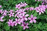 1-Bulb Oxalis Wood Sorrel 'Rosea'Pink flowers {crassipes}
