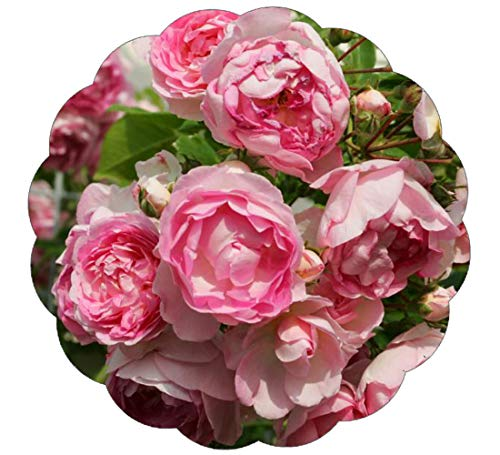 Stargazer Perennials Arborose Jasmina Climbing Rose Plant Lovely Fragrant Reblooming Pink Upright Climber Potted (Best Pink Climbing Rose)