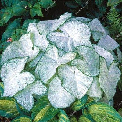 100 Pcs/bag Thailand Caladium Seeds of Perennial Flower Garden Potted Seeds Caladium DIY Home Garden Bonsai Plant Seeds 10
