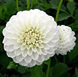 Boom Boom White Giant Ball Dahlia - 2 Bulb Clumps - Snowy White!