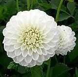 Boom Boom White Giant Ball Dahlia - 2 Bulb Clumps - Snowy White!