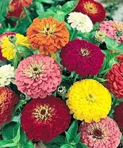 Zinnia Seeds, CA Giants Mix, Bulk Zinnia Seeds, Heirloom Flower. Non-Gmo, 400ct