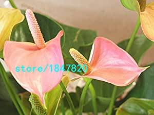 Hot Sale Rare Flower Seeds Pale Pink Anthurium Andraeanu Seeds Balcony Potted Flower Seeds Plants DIY Home 100PCS