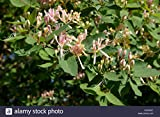 HOT - TATARIAN Honeysuckle - Lonicera tatarica - 45 Seeds - Bonsai - SOW All Year