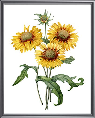 Arvier Flower Print Yellow Gaillardia Vintage Illustration for sale  Delivered anywhere in Canada