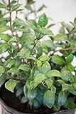 Confederate Jasmine, Trachelospermum Jasminoides (Excludes: AZ, CA), 3 Gallon