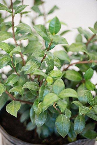 Confederate Jasmine, Trachelospermum Jasminoides (Excludes: AZ, CA), 3 Gallon by Root 98 Warehouse (Image #1)