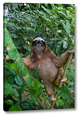 Brown-Throated Three-Toed Sloth Male, Aviarios Sloth Sanctuary, Costa Rica - 2 by Suzi Eszterhas - 16