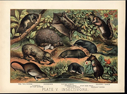 otter-shrew-flying-lemur-common-mole-1880-great-old-color-animal-print