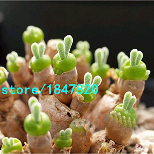Hot Sale Rare Lithops Pseudotruncatella Seeds Bunny Ears Stone Flower Seeds Bonsai Plants Seeds Home Garden 100PCS Free Shipping