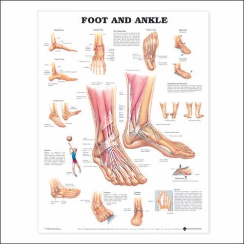 Human Foot and Ankle Anatomy Chart - Organ Anatomy Chart