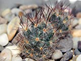 Home Comforts Peel-n-Stick Poster of Cactus Scratchy Needles Mammillaria Plants Green Poster 24x16 Adhesive Sticker Poster Print
