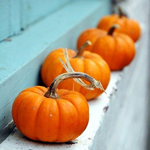 David's Garden Seeds Pumpkin Jack Be Little H897GB (Orange) 50 Heirloom Seeds (Pumpkin Pie Fresh Pumpkin Martha Stewart)