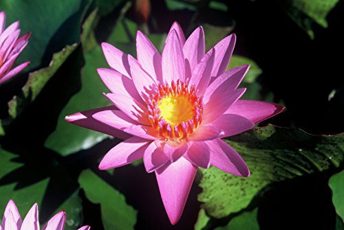 PINK WATER LILY SHIRLEY BRYNE, SOLD AS: BARE ROOT