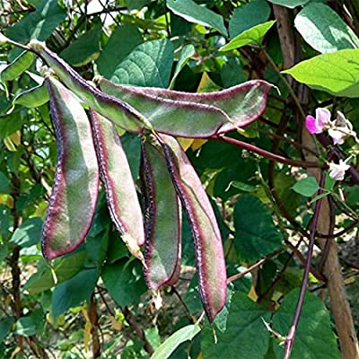 Purple Lace Lentils Hyacinth Bean Lablab Bean Brow Bean 15 Seeds Asian Chinese Seeds for Planting 原装彩包 紫边扁豆 眉豆种子 : Garden & Outdoor