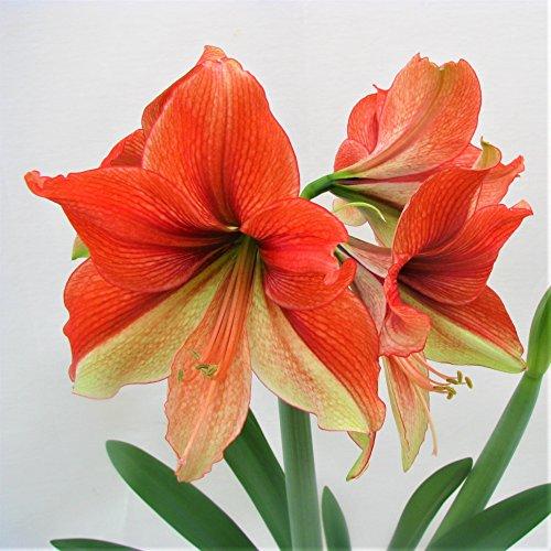 Bulb Double 1 Flower Amaryllis - Amaryllis Half & Half - 1 Bulb - 26/28cm