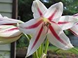 Crinum Peppermint (1 Bulb)summer-blooming bulbs with a wonderful fragrance.