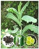 50+ Wild/Opium Lettuce Seeds