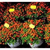 Semi di pomodoro ciliegio - Lycopersicon esculentum