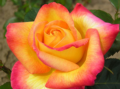 LOVE AND PEACE - 4lt Potted Hybrid Tea Garden Rose Bush - Fragrant, Yellow and Pink Blend
