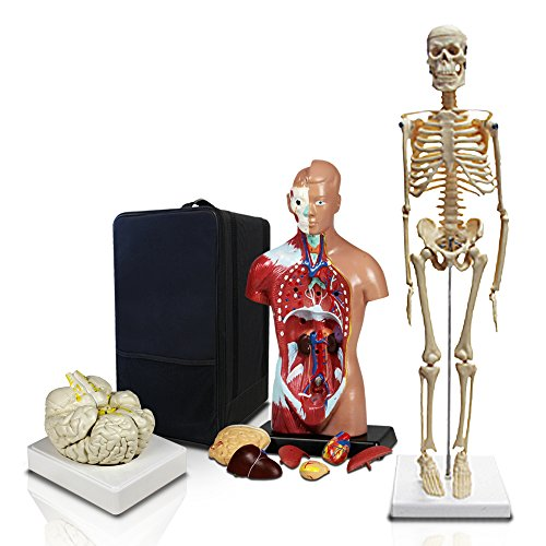 Parco Scientific Elementary and High School Learning Package. Set of Three Human Anatomy Models, Skeleton, Torso and Brain with Carrying Case.