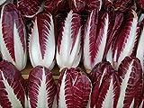 500+ Radicchio (Chicory) Seeds- Rossa di Treviso Precoce