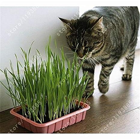 Pinkdose bonsai 50 PC hierba Gato Semillas Semillas de plantas verdes de hierba de trigo menta olor, Hierba bonsai Venta Inicio JardÃn: Amazon.es: Jardín