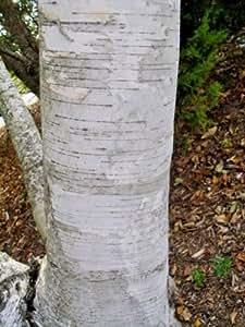 50 WHITE BIRCH TREE SEEDS - Betula papyrifera