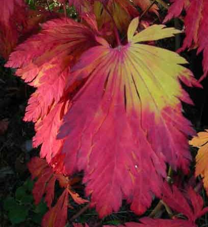 - Exotic Dancing Peacock Japanese Maple Tree/Plant (7) Fresh Seeds