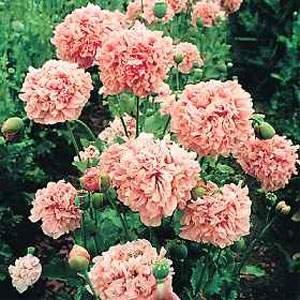 Outsidepride Peony Pale Rose - 5000 Seeds