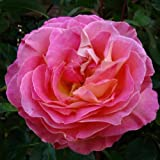 ROSE FRIENDS FOREVER-Send This Wonderful Rose Gift To A Special Friend For Birthdays, & For All Occasions