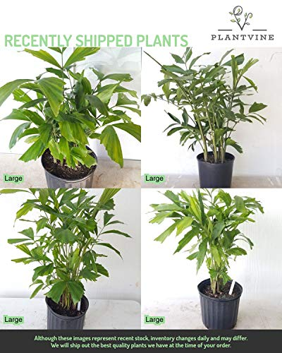 PlantVine Caryota mitis, Fishtail Palm - Large - 8-10 Inch Pot (3 Gallon), Live Plant - 4 Pack by PlantVine (Image #4)