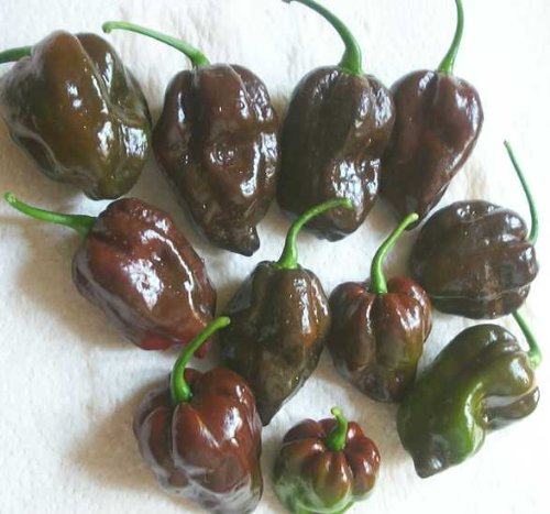 Chocolate Habanero hot pepper- OUCH- 300,000 scoville units- 50 (Habanero Scoville Units)