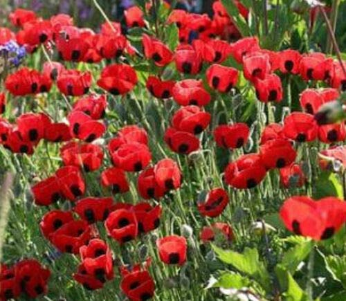 2000 Seeds Poppy Turkish Tulip - Papaver glaucum - Tall Red Flowers