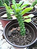 """1 Monadenium Ritchiei Euphorbia 3-5"""" Tall Rare Exotic Succulent Live Plant WCRF19"""