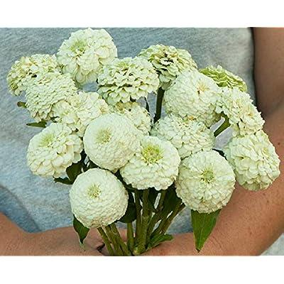 David's Garden Seeds Flower Zinnia Oklahoma White SL7574 (White) 50 Non-GMO, Open Pollinated Seeds : Garden & Outdoor