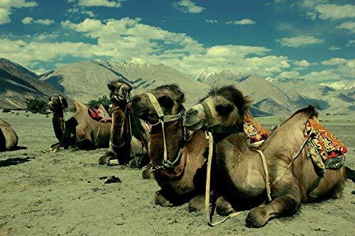 - Home Comforts Peel-n-Stick Poster of Desert India Ladakh Tibet Camel Vivid Imagery Poster 24 x 16 Adhesive Sticker Poster Print