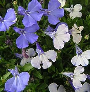 Futaba® Half Moon Lobelia Erinus Campanulaceae Perennial Herb 500 Seeds