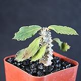 """Euphorbia decaryi decary exotic madagascar rare caudex succulent cacti plant 2"""""""