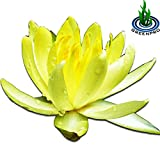 Live Aquatic Plant Yellow Nymphaea Mexican Hardy Water Lilies Tuber for Aquarium Freshwater Fish Pond by Greenpro