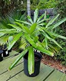 Rhapis excelsa Lady palm live plant approx. 2 foot
