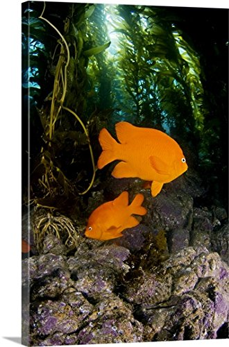 California, Garibaldi Fish (Hypsypops Rubicundus) In Kelp Forest (Macrocystis Pyrifera) Gallery-Wrapped Canvas (Garibaldi Fish)