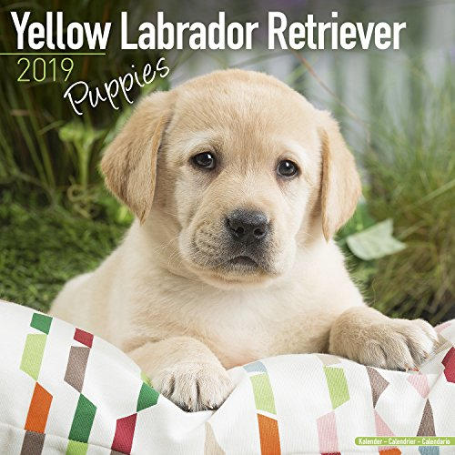 Used, Yellow Labrador Puppies Calendar - Dog Breed Calendars for sale  Delivered anywhere in USA