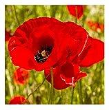 David's Garden Seeds Flower Poppy Corn OS1611 (Red) 500 Open Pollinated Seeds